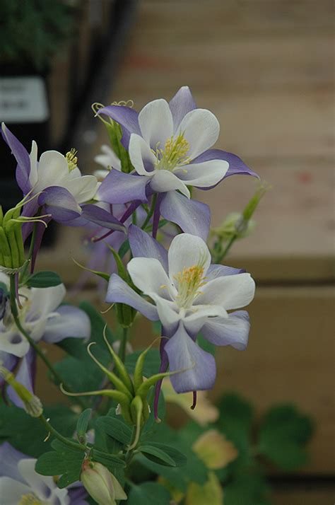 aquilegia origami and white origami blue and white columbine aquilegia origami blue