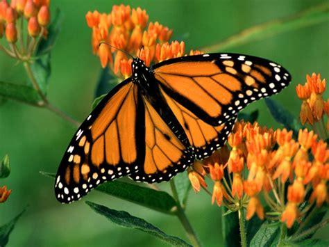 a butterfly beautiful butterflies butterflies wallpaper 9481947