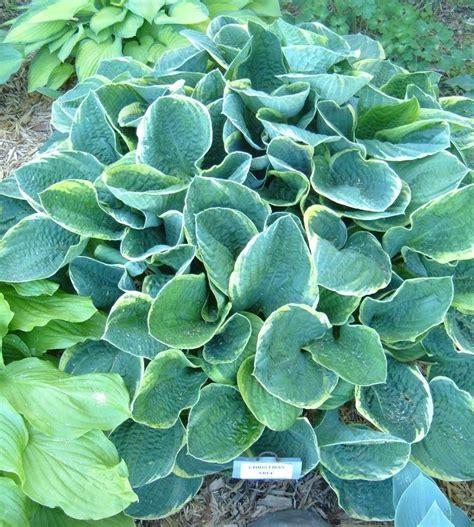 tree hosta plantfiles pictures hosta tree hosta by