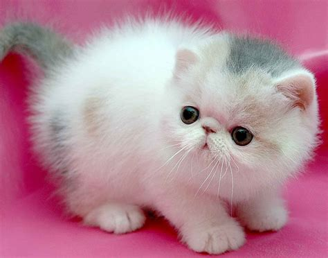 pink cat small cat on a pink background wallpapers and