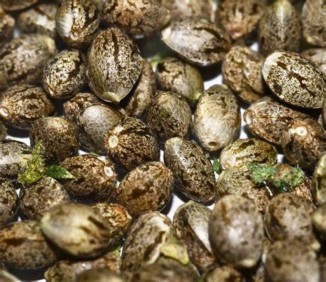 seed wholesale bulk autoflower seeds