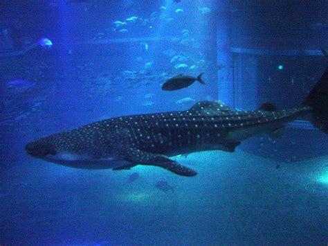 鯨鯊 組圖 影片 的最新詳盡資料 必看 yes news