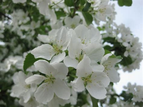 tree in white what do i three anchorage trees with white flowers