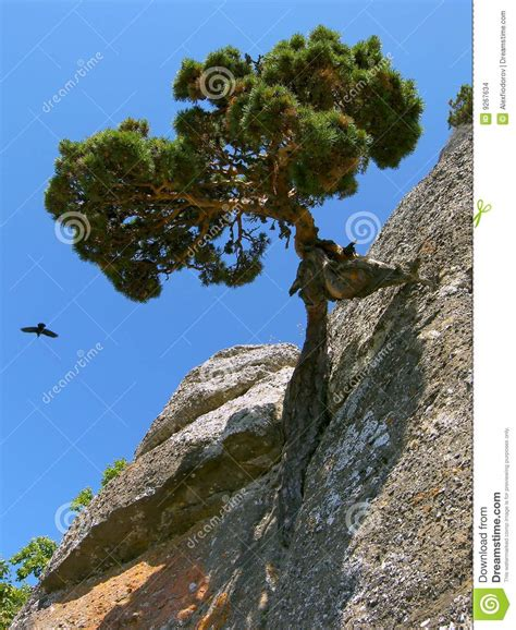 rock the tree pine tree on rock stock images image 9267634