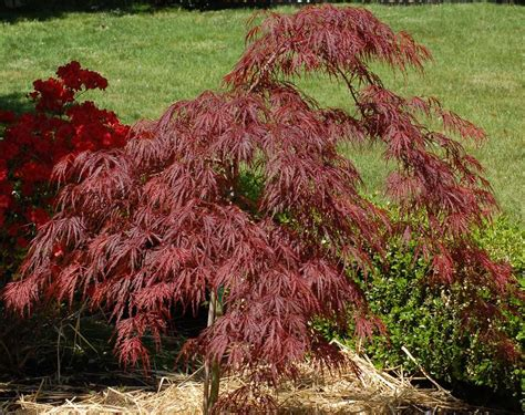 maple tree growing tips crimson japanese maple trees growing tips