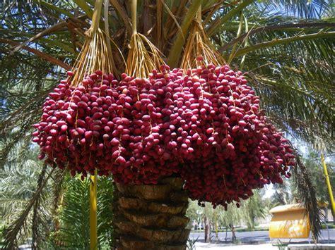 dates tree news india