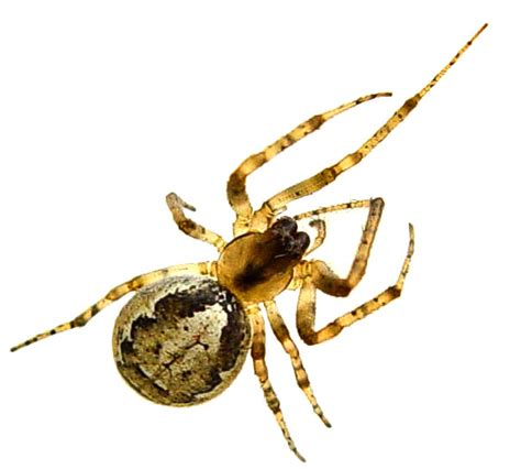 Garden Spider False Widow False Widow Look Alikes The False Widow Spider