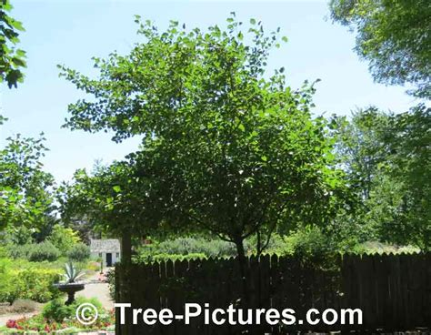 hawthorne tree hawthorn tree pictures images photos facts on hawthorns