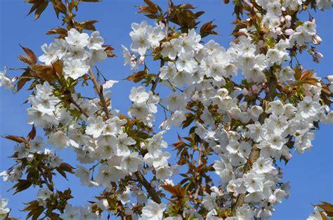 cherry tree vs cherry blossom tree prunus taihaku great white cherry 7 8 year specimen