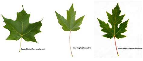 maple tree identification pictures maple leaves identification www imgkid the image kid has it