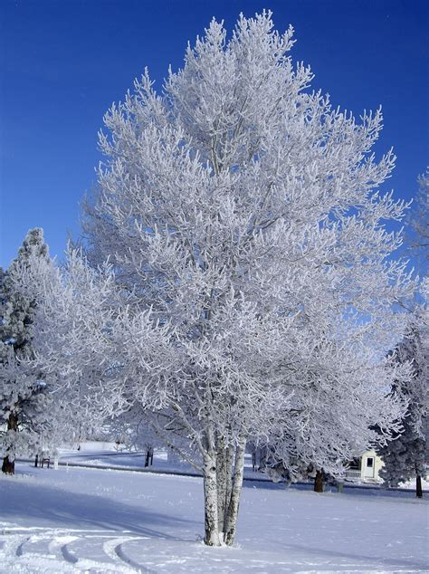 tree in white weather images white tree hd wallpaper and background