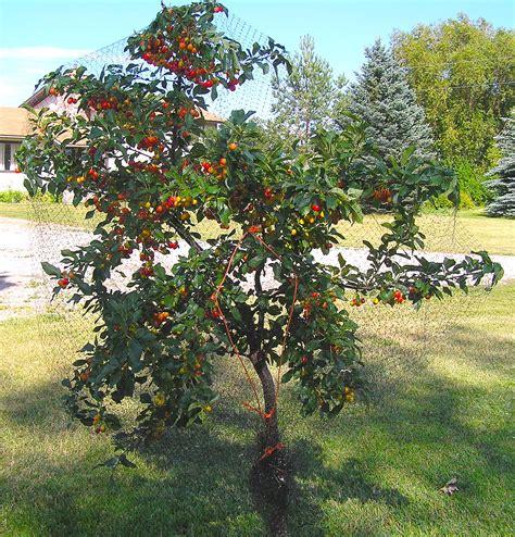 cherry trees cherry