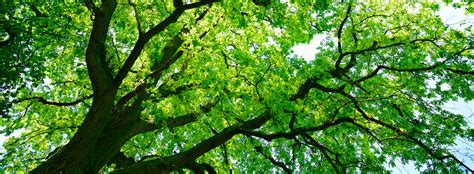 tree of canopy healthy trees healthy communities canopy