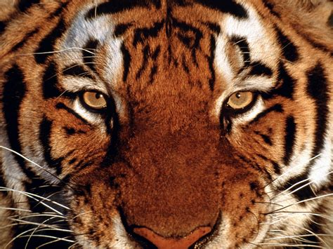tiger eye the eye of the tiger do you what it takes to succeed
