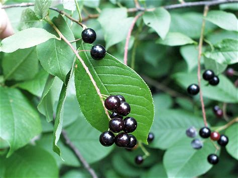 cherry tree identification isu forestry extension tree identification choke cherry prunus virginiana