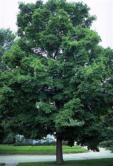 maple tree nursery sugar maple tree nursery maple sugar tree maple tree