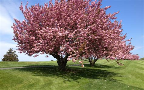 cherry trees delightful cherry tree