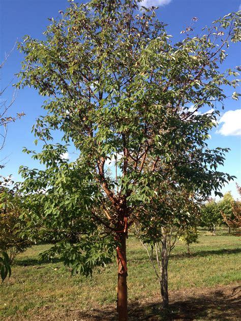 paper bark maple katsura gardens