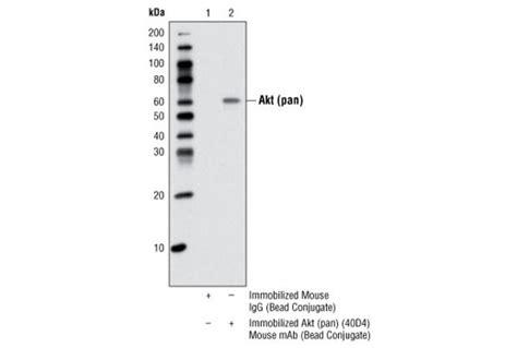 igg sepharose new biolabs uk ltd akt pan 40d4 mouse mab