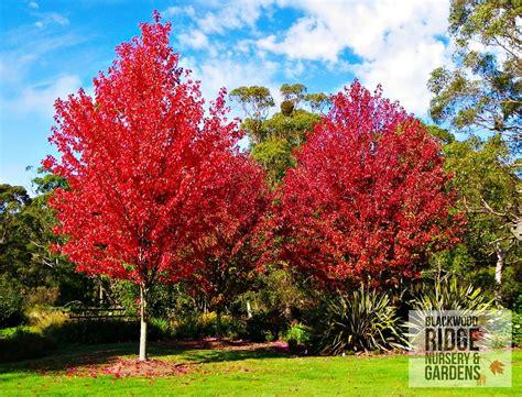 autumn blaze october blackwood ridge nursery