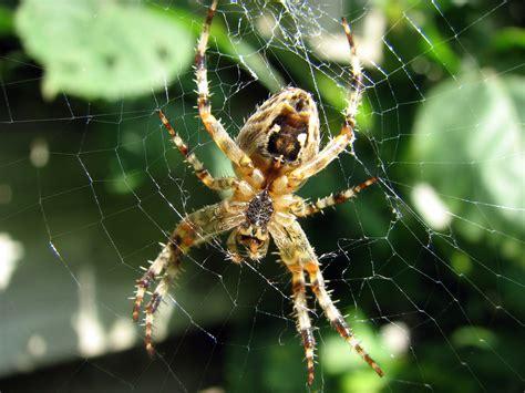 Garden Spider Photos Bestand Kruisspin European Garden Spider Araneus
