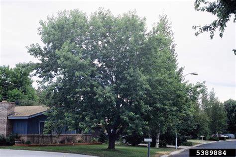 maple tree kingdom silver maple acer saccharinum sapindales aceraceae 5389884
