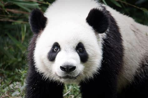 panda china wizz and tom s big trip china part iv pot
