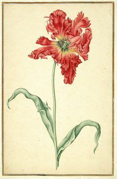 watercolour of a tulip 1728 from karlsruher tulpenbuch