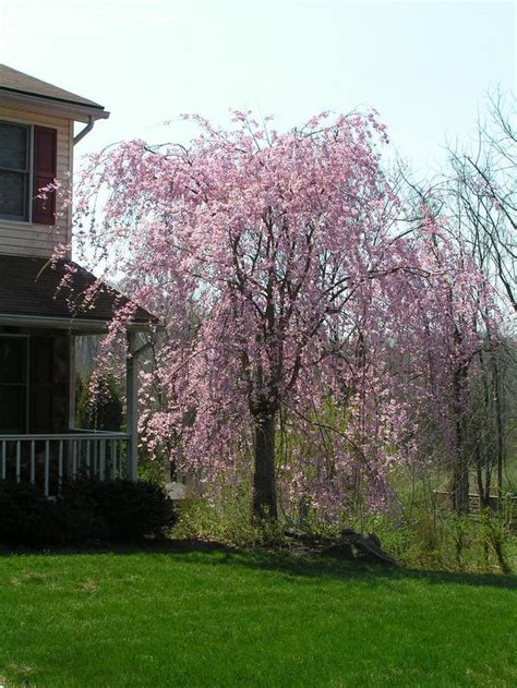 cherry tree weeping flowering cherry montgomery county pa my yard plans more weeping cherry tree