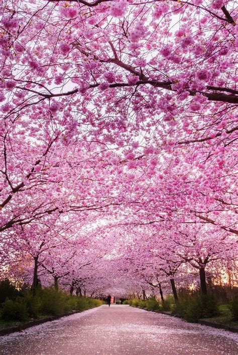 25 best ideas about cherry blossom tree on blossom trees japanese cherry blossoms