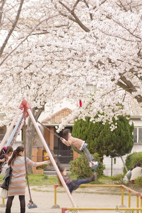 top 25 ideas about cherry blossom cottage on apple blossoms cherry blossom tree and