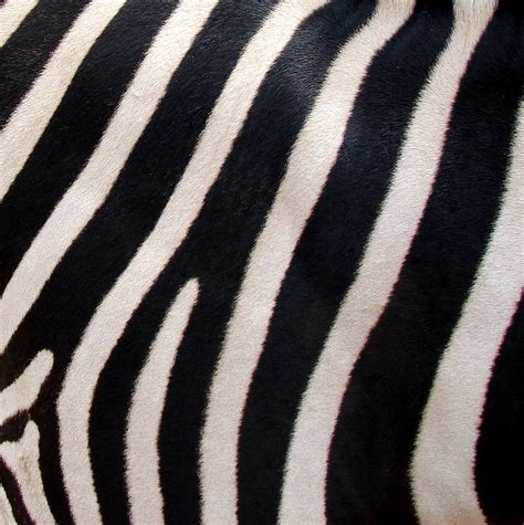 zebra stripes quotes about zebra stripes quotesgram