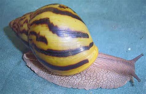 Achatina snail - Achatina Photogallery - Achatina achatina