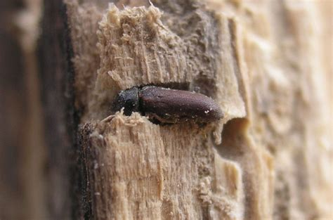 wurms woodworking woodworm