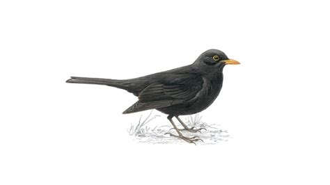black bird the rspb early years blackbird
