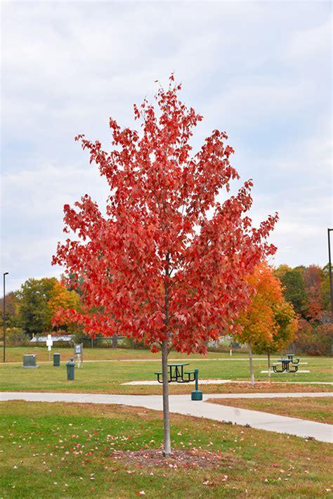 autumn maple acer rubrum autumn in columbus dublin delaware grove city