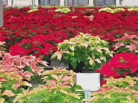 poinsettia rubber st are poinsettias poisonous some truths st now