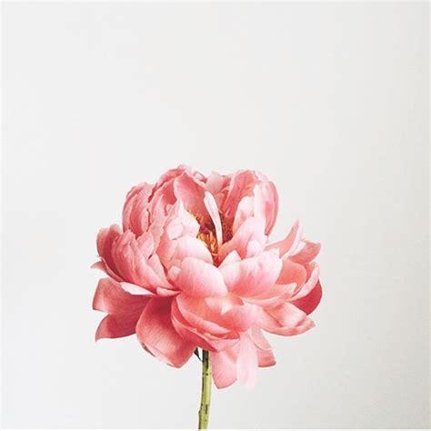 peonies in season best 25 peonies ideas on pink peonies peony