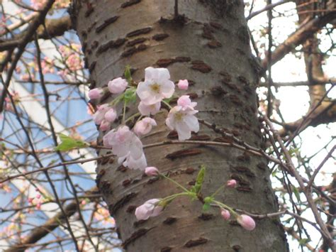 cherry tree vs cherry blossom tree plum trees vs cherry trees how to tell vancouver cherry blossom festival vancouver cherry