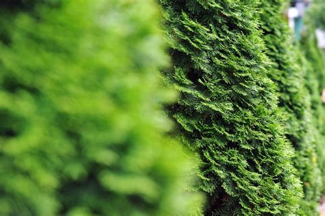 trees best best privacy trees for your backyard the tree center