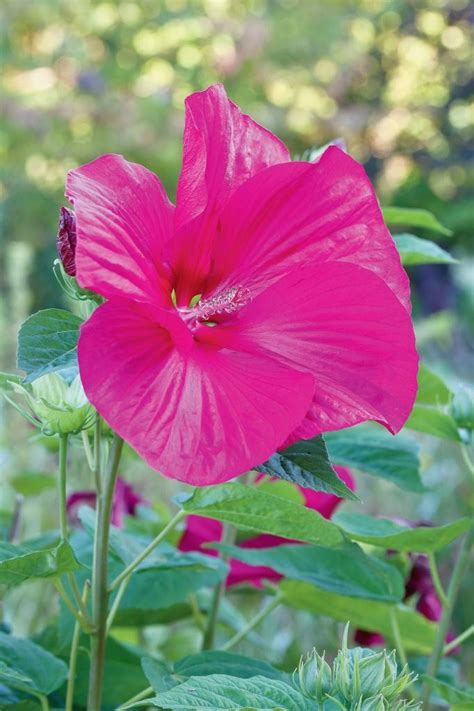 l 171 hibiscus moscheutos 187 une vivace aux fleurs gigantesques la croix