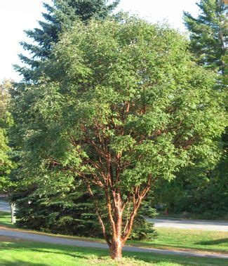 29 best images about acer griseum on trees basil pesto and shrubs