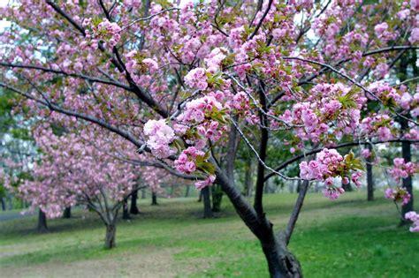 mozart s butterflies blossoms