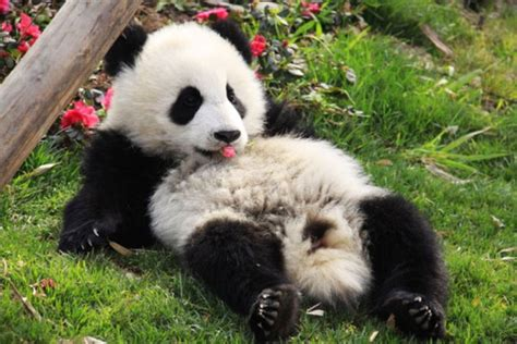 one panda zenfolio absolutepanda from birth to 1 year one