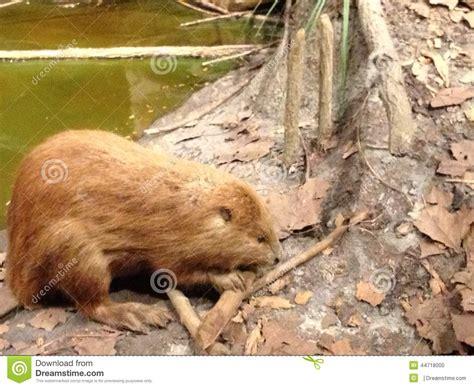 beaver woodworking beaver stock photo image 44718000
