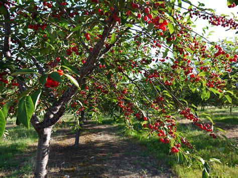 cherry tree wisnie w czekoladzie cherries tesa s nutrition