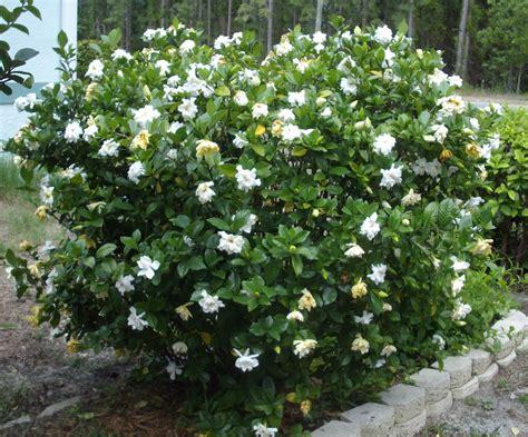 Gardenia Bush And S Gardenias And Lillies