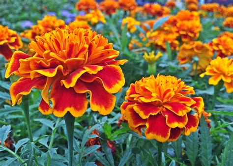 marigold flower garden marigold flower garden marigold plants not flowering