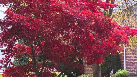 maple tree all year buy japanese maple trees for a burst of color year in landscaping
