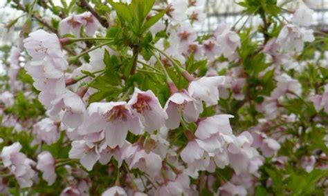 prunus incisa twist twist cherry tree kato s nursery
